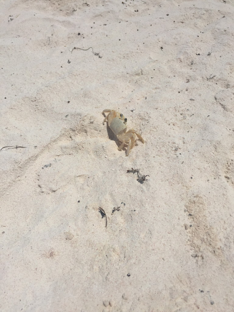 Crab on the beach in Tulum, Mexico
