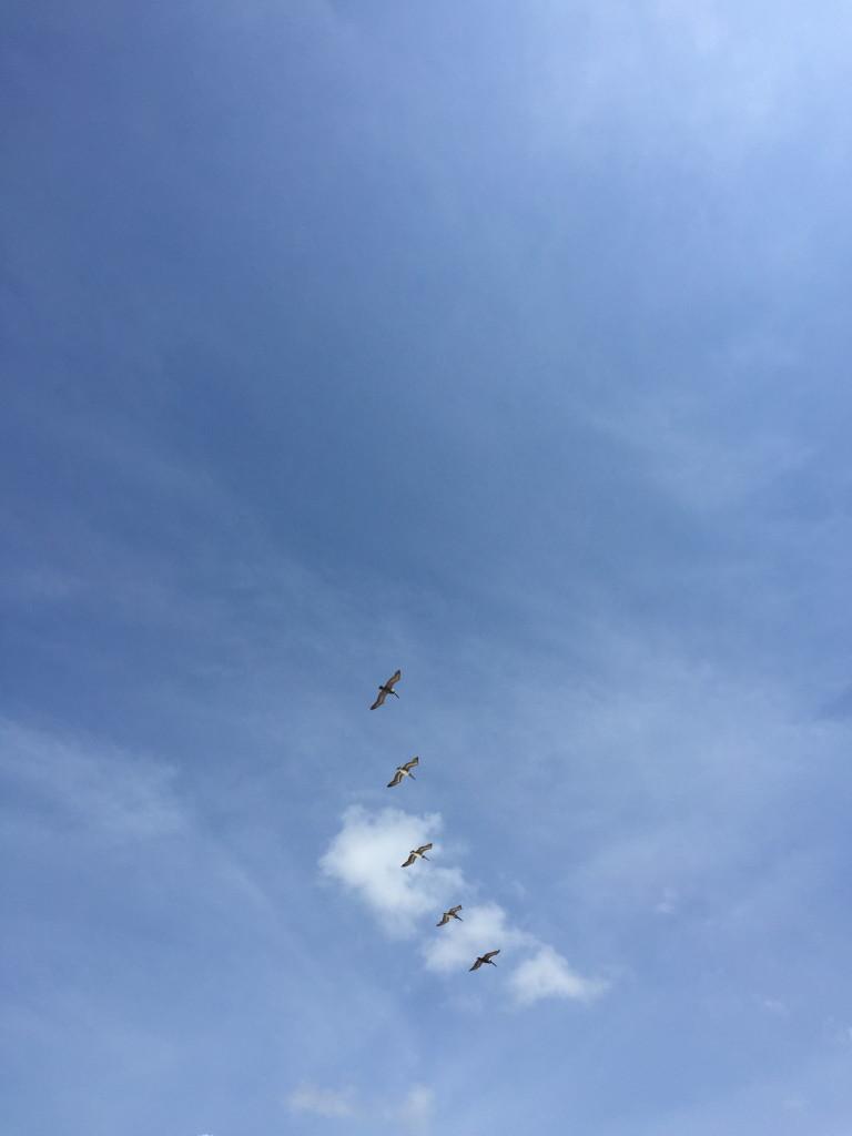 Pelican flock flying